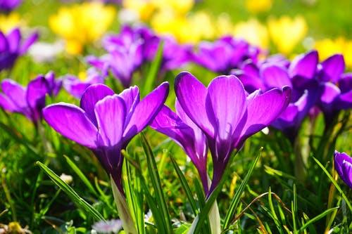 crocus-flower-spring-buhen-55828